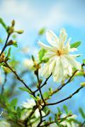 star magnolias - stellata - stock photo