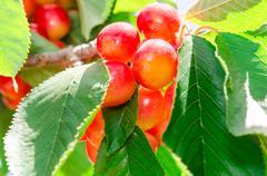 ripe juicy sweet rainier cherry white berry fruits - stock photo