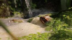 Garden Frog in Pond Stock Footage