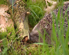 European Hedgehog, Erinaceus europaeus, foraging on insects - close up Stock Footage