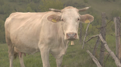Beautiful white cow rest mountain pasture looking stare camera summer day nature Stock Footage