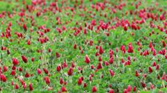 Beautiful Crimson clover flower field Stock Footage