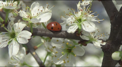Stock Video Footage of ladybird and flowering thorn