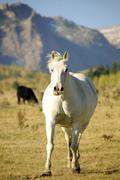 white running mustang. colorado usa. - stock photo