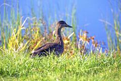 Young mallard duck near small lake. Stock Photos