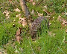 European Hedgehog, Erinaceus europaeus, foraging in forest - wide shot Stock Footage