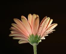 the gerber flower in the dew. black background - stock photo