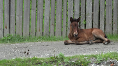 Ultra HD 4K Foal, Colt, Horse Baby Resting in Countryside, Rural, Rustic View Stock Footage
