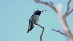 Hummingbird Colibri on a branch showing off its wings and tongue Stock Footage