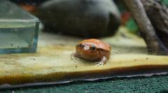 Large orange toad Stock Footage