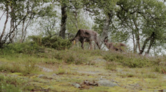 Caribou Reindeer and Fawn Looking for Food - 29,97FPS NTSC - stock footage