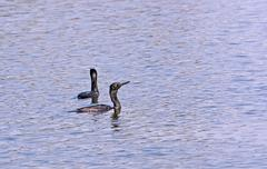 Two Indian Cormorants swimming in water Stock Photos