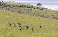 Stock Photo of hopping kangaroos. bingie (near morua) . nsw. australia