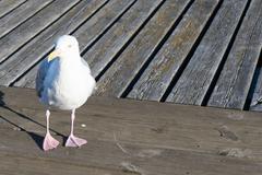 closeup of herring gull, larus argentatus walking - stock photo