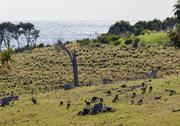 Stock Photo of kangaroos grazing. bingie (near morua) . nsw. australia