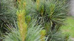 Detail of pine tree, rack focus Stock Footage