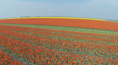 Drone shots of Tulip fields in The Netherlands Stock Footage