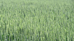 Wheat field, zoom out Stock Footage