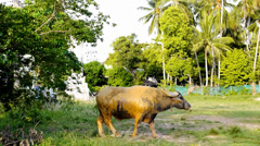 Bull (Buffalo) Is Feeding on the Meadow. Stock Footage