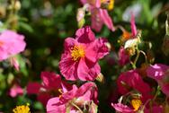 Stock Photo of pink helianthemum