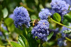 honeybee collecting pollen a ceanothus - stock photo