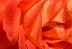 abstract rose petals - stock photo