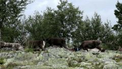 Herd of Caribou Reindeer Passing By - 29,97FPS NTSC Stock Footage