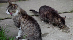 Two beautiful stray cats, hungry pet, cute animals outdoors Stock Footage