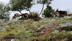 Herd of Caribou Reindeer Run over Hills - 29,97FPS NTSC Stock Footage
