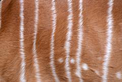 textured of nyala fur - stock photo