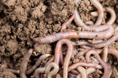 earthworms on soil. macro - stock photo