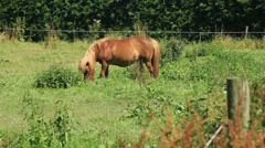 Light Brown Colored Shetland Pony Grazing in the Meadow - 29,97FPS NTSC Stock Footage