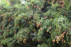 fresh lichi on tree - stock photo
