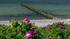 Japanese Rose - Rosa rugosa - Baltic Sea, Northern Germany Stock Footage