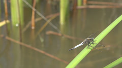 Zoom in macro detail closeup dragon fly sitting rest reed green leaf plant lake  Stock Footage