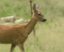 Roe Deer, capreolus capreolus, in forest - tracking shot Stock Footage