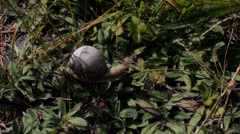 Land Snail Crawls over Forest Ground - 29,97FPS NTSC Stock Footage