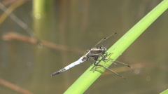 Closeup detail dragon fly rest reed leaf green plant lake pond wildlife bug day Stock Footage