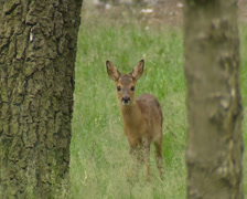 Roe Deer fawn in forest stands between tree trunks - on camera Stock Footage