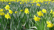 Stock Video Footage of A bed of blooming daffodils swaying in the wind, full frame