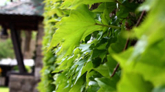 Ivy On wall Stock Footage