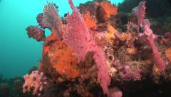 Colorful coral head, Gorgonia and Soft corals. #1-35 Stock Footage