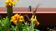 Stock Video Footage of A mantis with horns (empusa fasciata) stares at the camera.