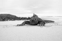 Galapagos marine Iguana Stock Photos