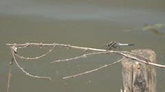 Closeup detail dragonfly dragon fly rest sitting lake water ripple insect hunt  Stock Footage