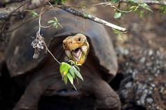A Galapagos tortoise - stock photo