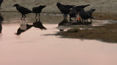 Crows on the river bank. Stock Footage