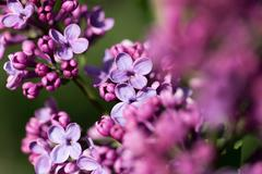 beautiful lilac flowers in nature - stock photo