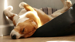 Funny sleeping beagle dog in hot afternoon - stock footage