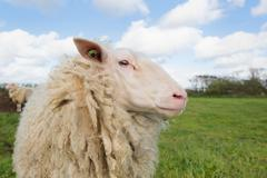 Stock Photo of sheep at dutch wadden island terschelling